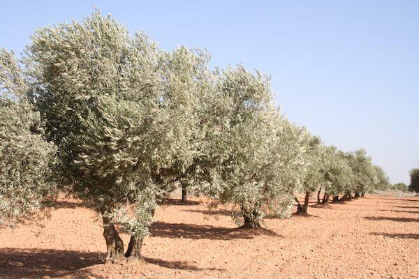 Los olivos en Jaén